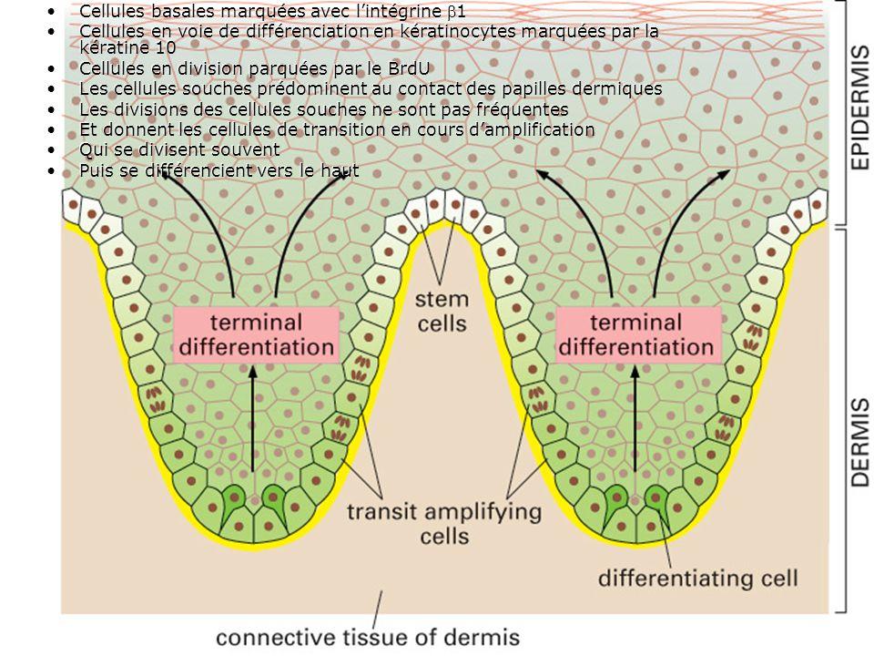 69 Fig 22-6 Cellules basales marquées avec lintégrine 1 Cellules en voie de différenciation en kératinocytes marquées par la kératine 10 Cellules en division parquées par le BrdU Les cellules souches prédominent au contact des papilles dermiques Les divisions des cellules souches ne sont pas fréquentes Et donnent les cellules de transition en cours damplification Qui se divisent souvent Puis se différencient vers le haut Cellules basales marquées avec lintégrine 1 Cellules en voie de différenciation en kératinocytes marquées par la kératine 10 Cellules en division parquées par le BrdU Les cellules souches prédominent au contact des papilles dermiques Les divisions des cellules souches ne sont pas fréquentes Et donnent les cellules de transition en cours damplification Qui se divisent souvent Puis se différencient vers le haut
