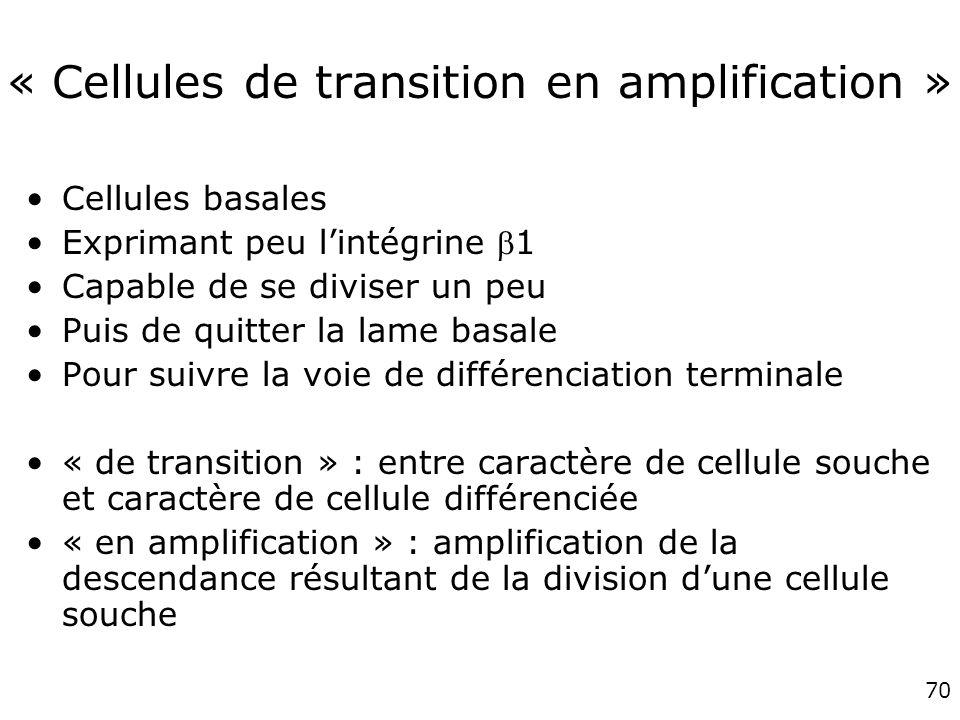 70 « Cellules de transition en amplification » Cellules basales Exprimant peu lintégrine 1 Capable de se diviser un peu Puis de quitter la lame basale Pour suivre la voie de différenciation terminale « de transition » : entre caractère de cellule souche et caractère de cellule différenciée « en amplification » : amplification de la descendance résultant de la division dune cellule souche