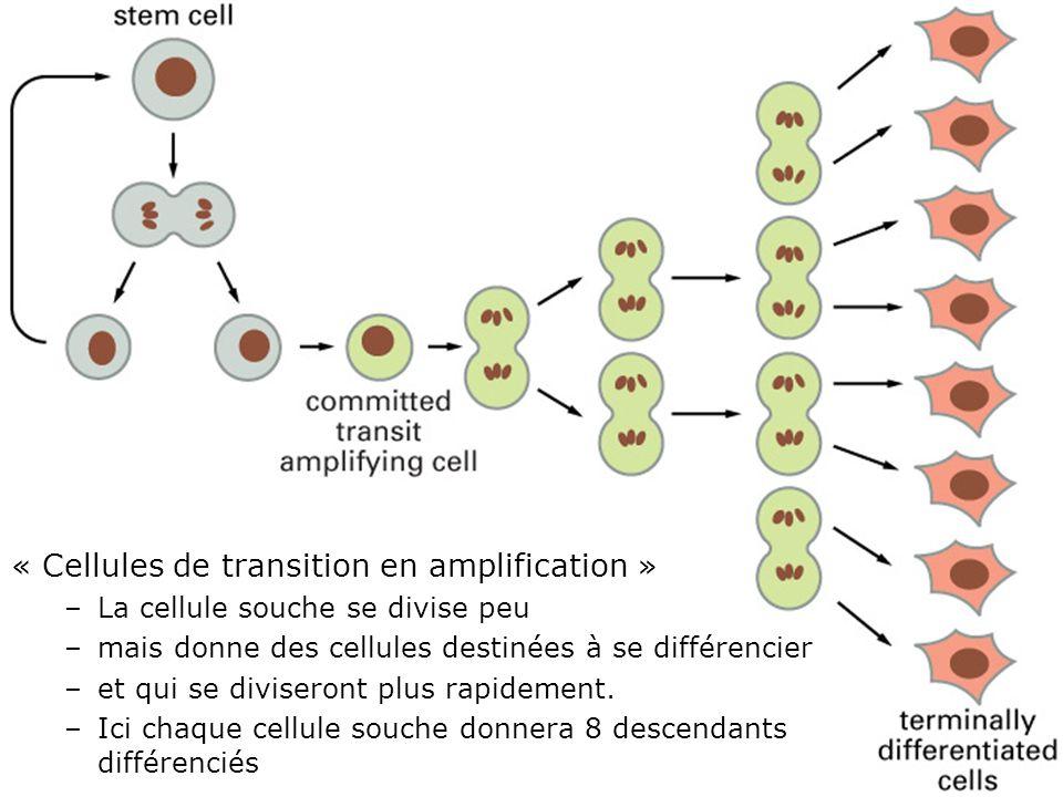 71 Fig 22-7 « Cellules de transition en amplification » –La cellule souche se divise peu –mais donne des cellules destinées à se différencier –et qui se diviseront plus rapidement.