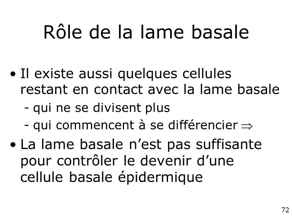 72 Rôle de la lame basale Il existe aussi quelques cellules restant en contact avec la lame basale -qui ne se divisent plus -qui commencent à se différencier La lame basale nest pas suffisante pour contrôler le devenir dune cellule basale épidermique