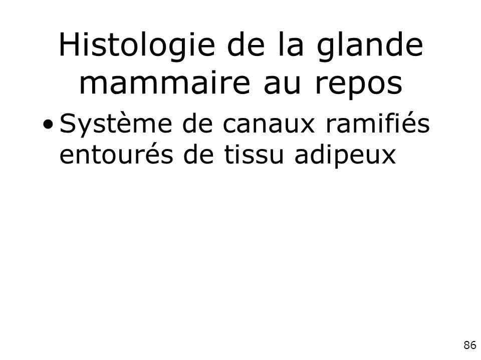 86 Histologie de la glande mammaire au repos Système de canaux ramifiés entourés de tissu adipeux