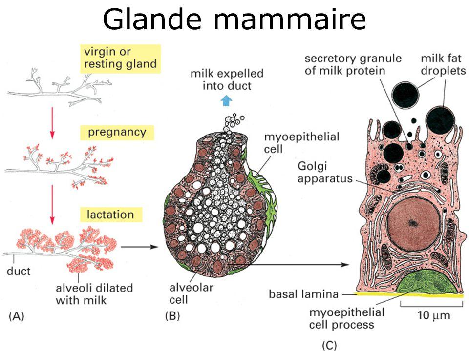 92 Glande mammaire