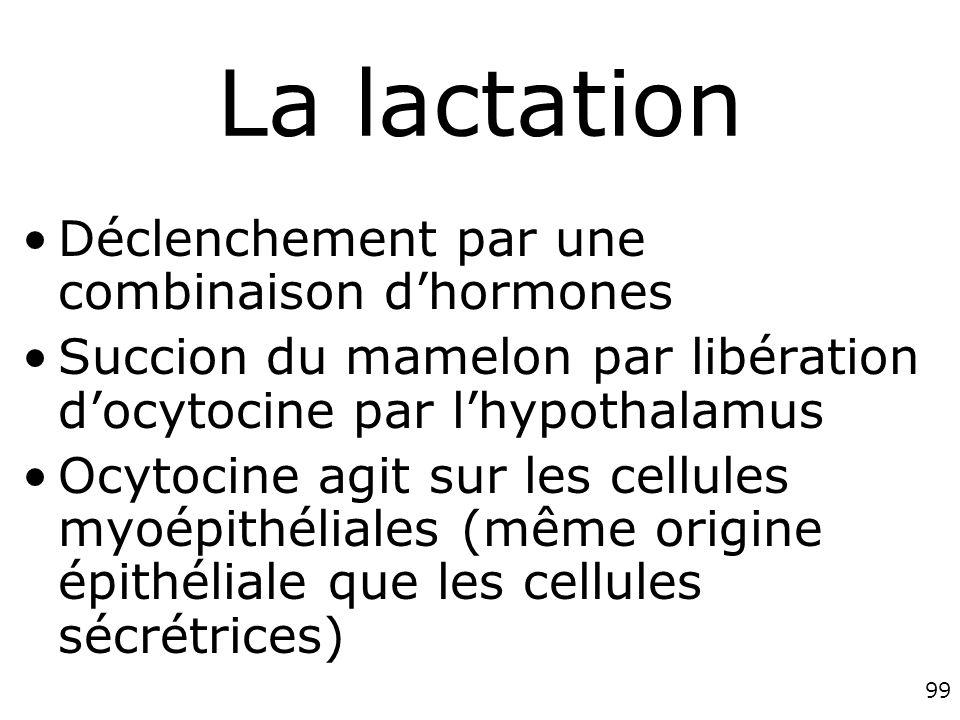 99 La lactation Déclenchement par une combinaison dhormones Succion du mamelon par libération docytocine par lhypothalamus Ocytocine agit sur les cellules myoépithéliales (même origine épithéliale que les cellules sécrétrices)