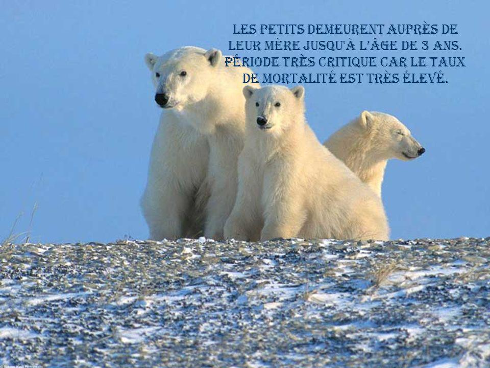 Il peut détecter un animal mort a plus de 5 km et un phoque sous 1 mètre de glace. Il ne délimite pas son territoire comme dautres espèces.