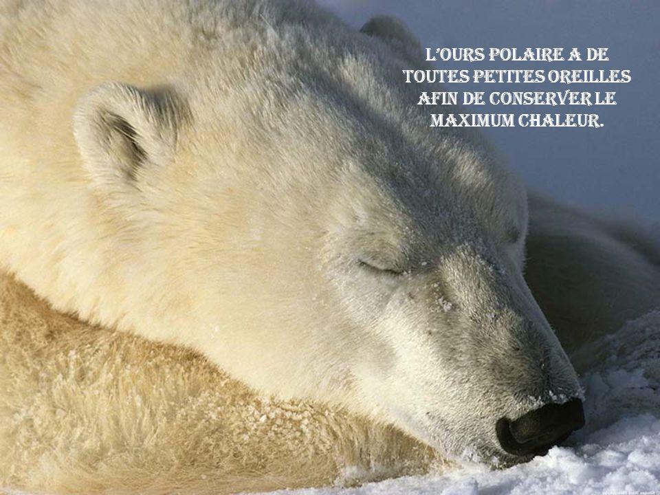 Lours polaire a de toutes petites oreilles afin de conserver le maximum chaleur.