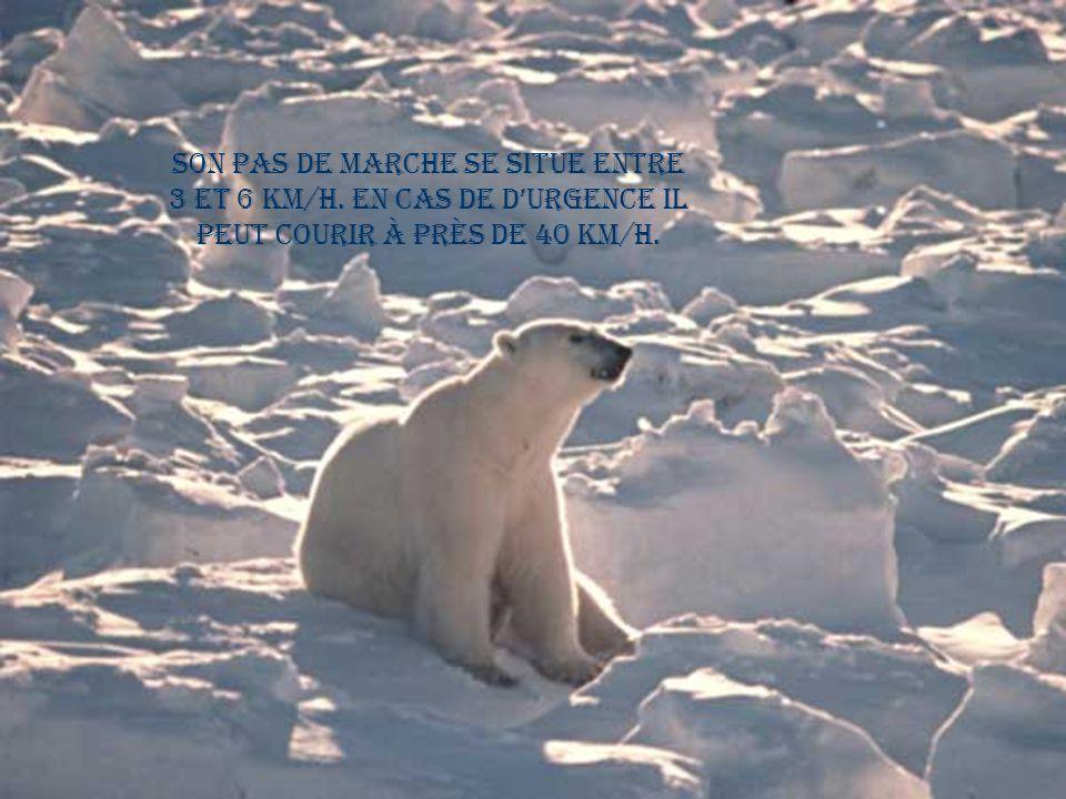 L'ours polaire peut vivre plus de 20 ans.