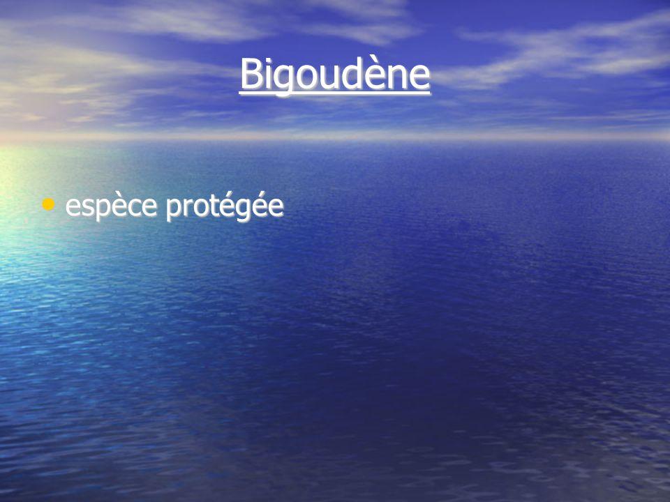 Bigoudène espèce protégée espèce protégée