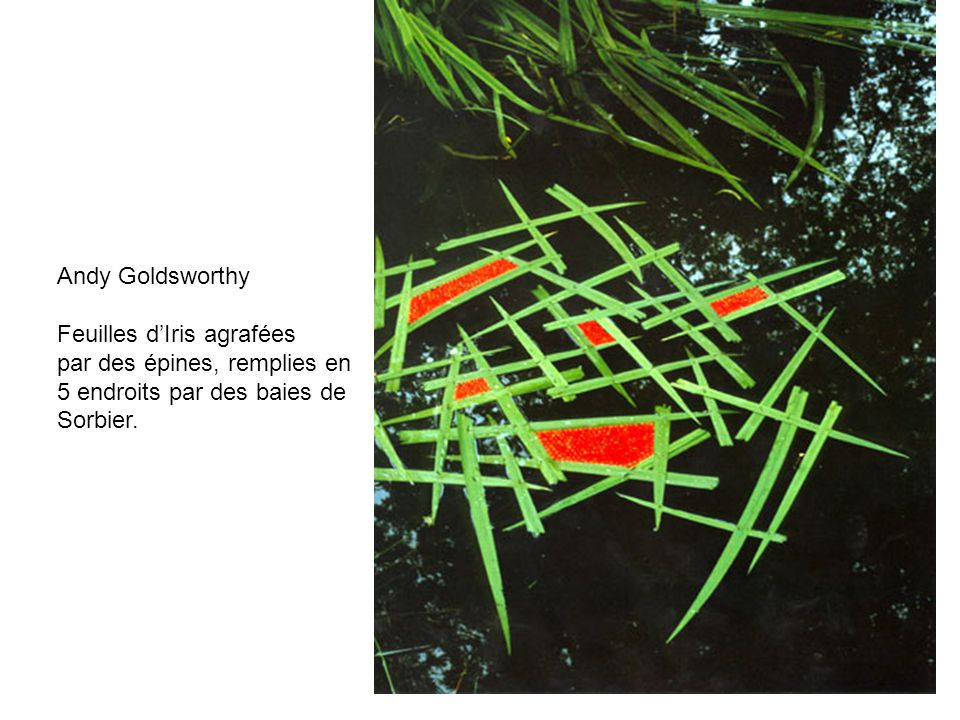 Andy Goldsworthy Feuilles dIris agrafées par des épines, remplies en 5 endroits par des baies de Sorbier.