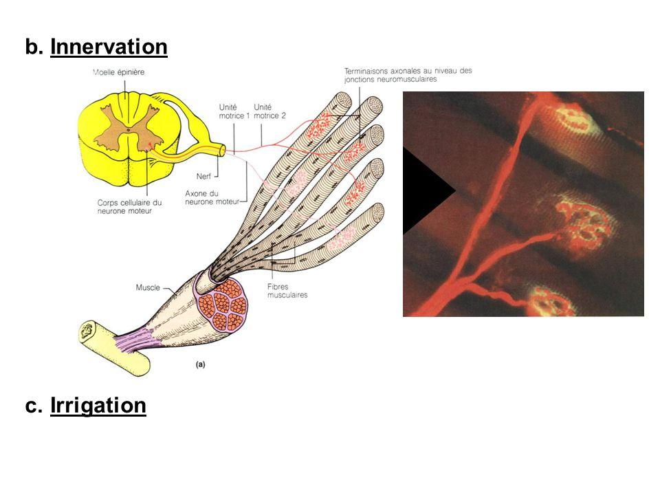 b.Innervation c.Irrigation