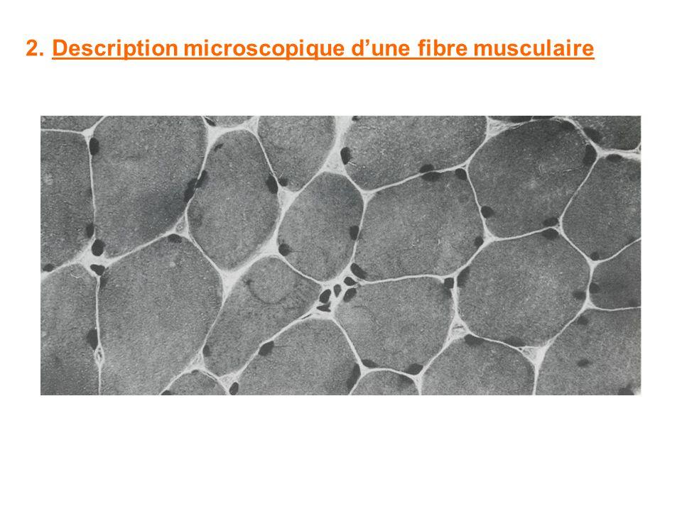2.Description microscopique dune fibre musculaire