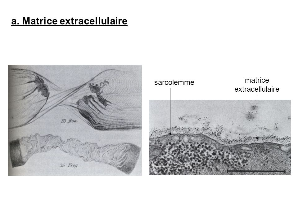 a. Matrice extracellulaire sarcolemme matrice extracellulaire