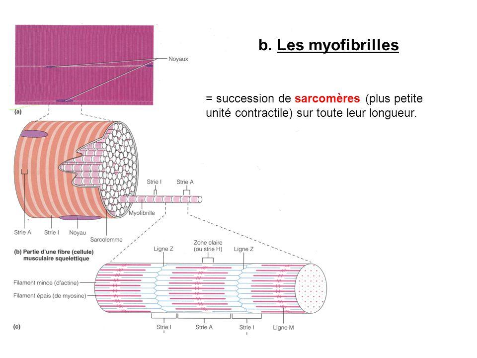 b.Les myofibrilles = succession de sarcomères (plus petite unité contractile) sur toute leur longueur.