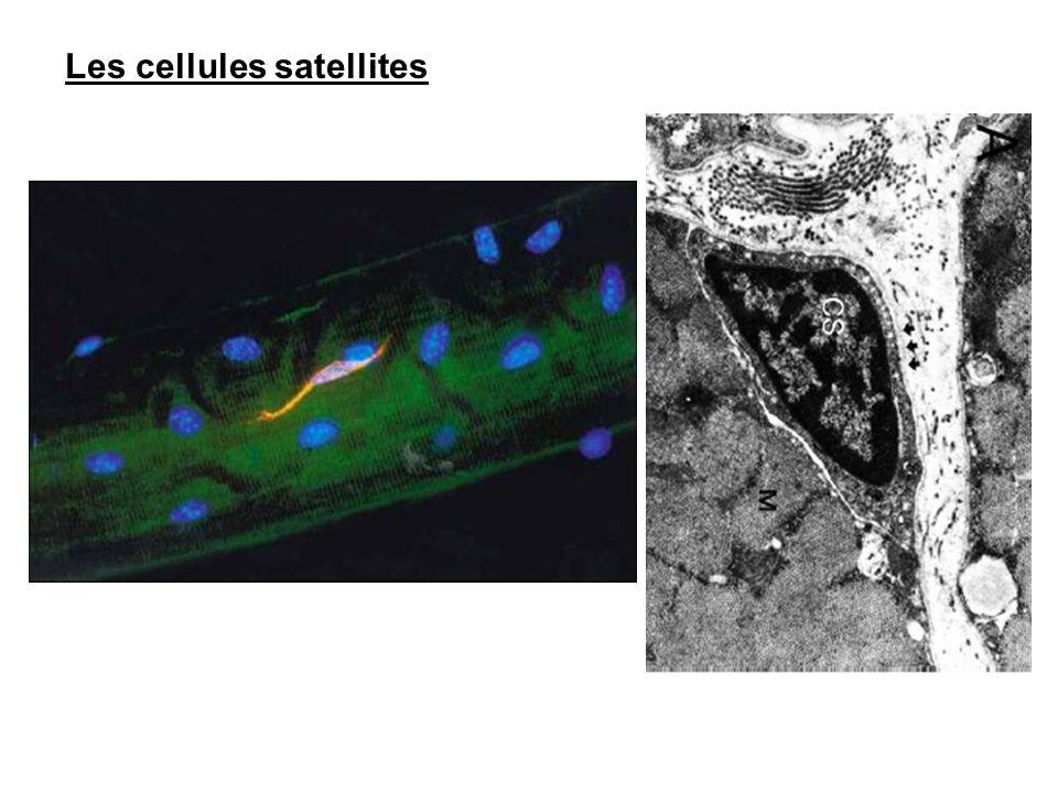 Les cellules satellites