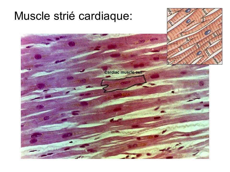 Muscle strié cardiaque: