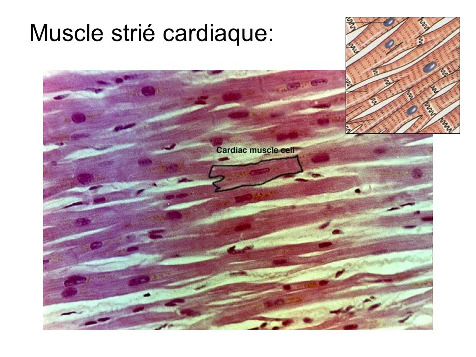a. Matrice extracellulaire sarcolemme matrice extracellulaire