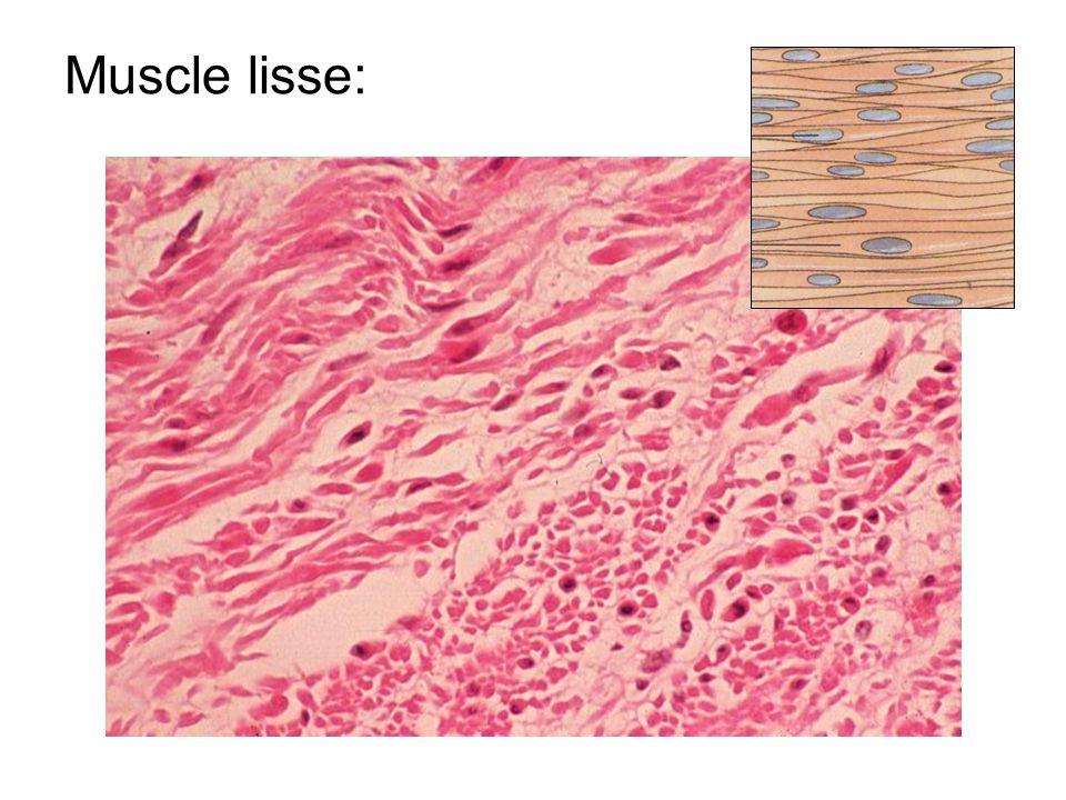 Exemple 2: muscles lisses de liris