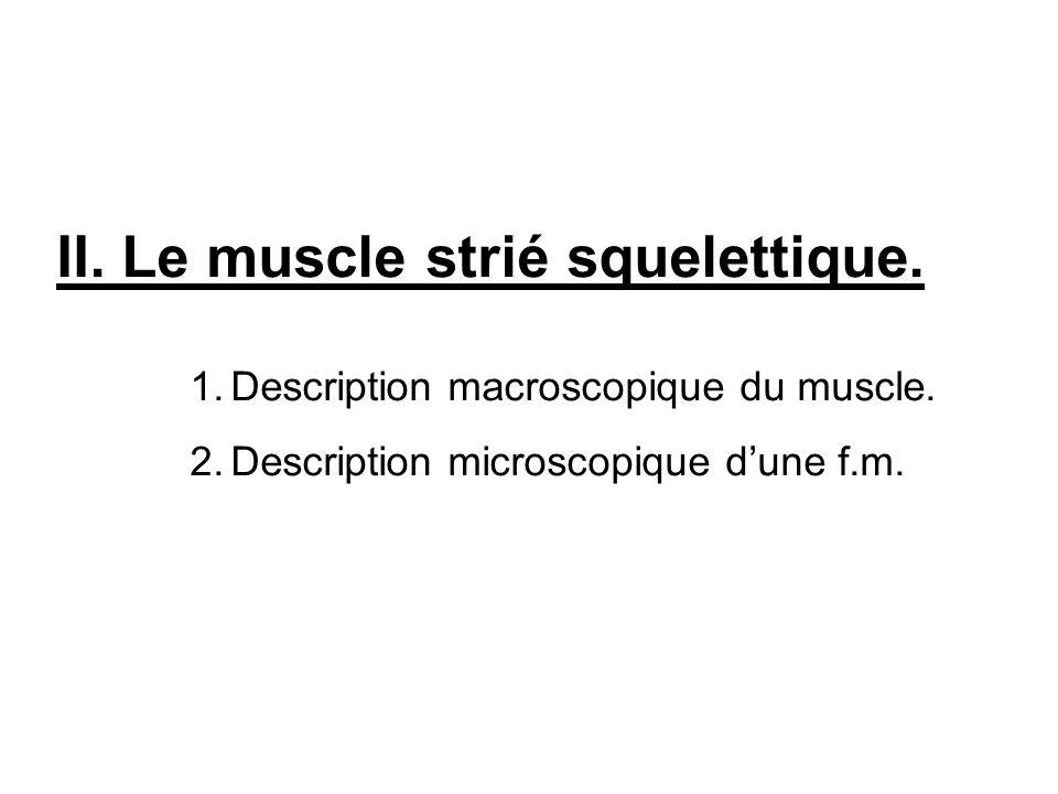 II. Le muscle strié squelettique. 1.Description macroscopique du muscle. 2.Description microscopique dune f.m.