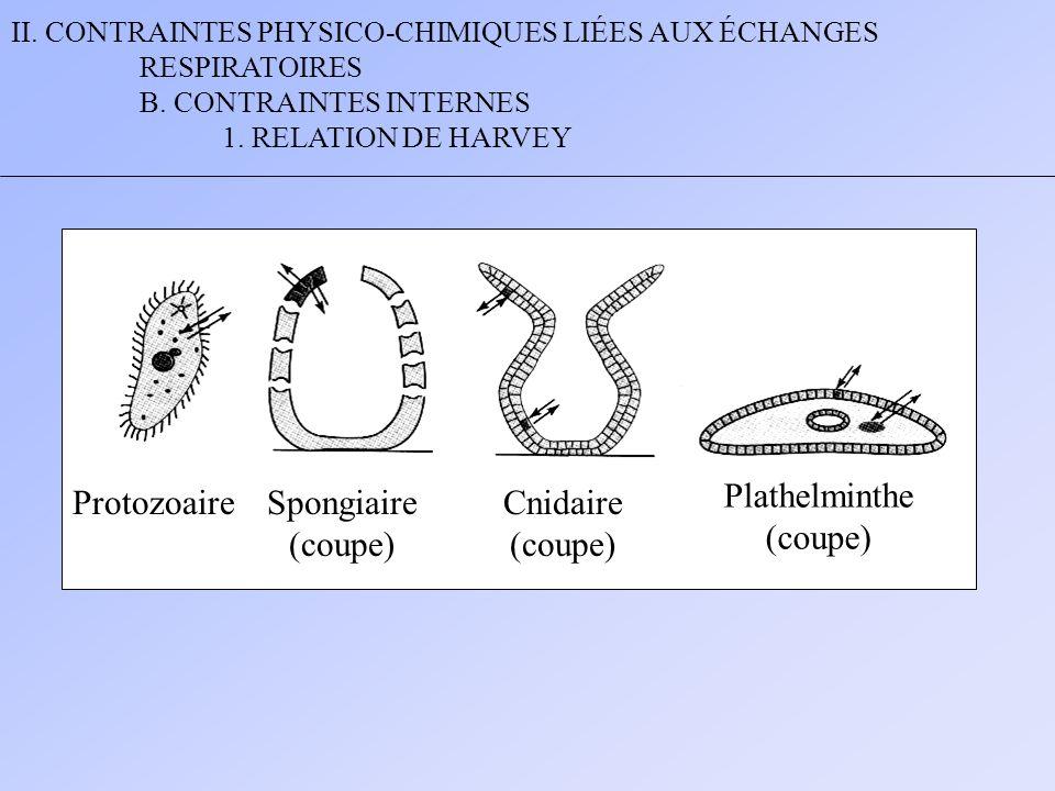 II. CONTRAINTES PHYSICO-CHIMIQUES LIÉES AUX ÉCHANGES RESPIRATOIRES B. CONTRAINTES INTERNES 1. RELATION DE HARVEY ProtozoaireSpongiaire (coupe) Cnidair