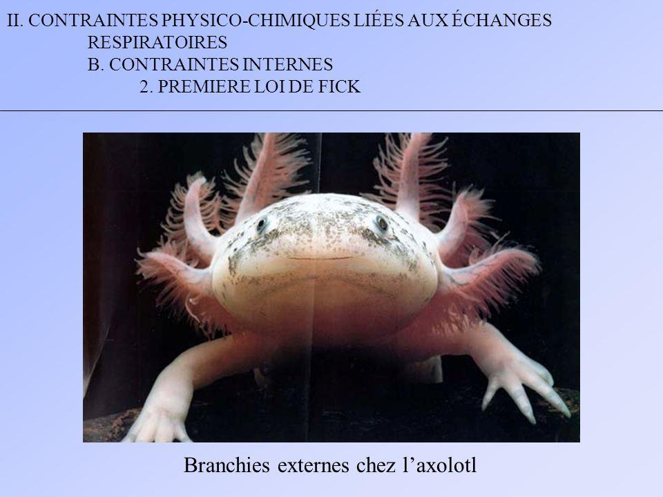 II. CONTRAINTES PHYSICO-CHIMIQUES LIÉES AUX ÉCHANGES RESPIRATOIRES B. CONTRAINTES INTERNES 2. PREMIERE LOI DE FICK Branchies externes chez laxolotl