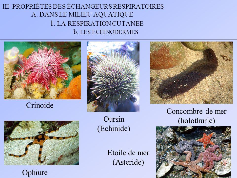 III. PROPRIÉTÉS DES ÉCHANGEURS RESPIRATOIRES A. DANS LE MILIEU AQUATIQUE 1. LA RESPIRATION CUTANEE b. LES ECHINODERMES Crinoide Oursin (Echinide) Conc
