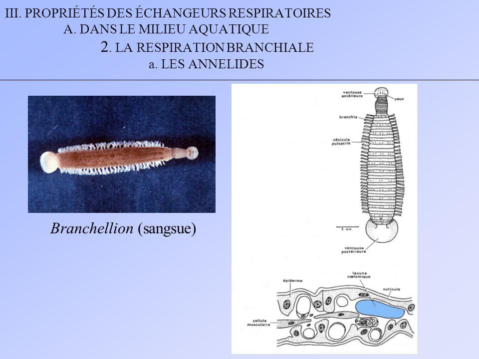 III. PROPRIÉTÉS DES ÉCHANGEURS RESPIRATOIRES A. DANS LE MILIEU AQUATIQUE 2. LA RESPIRATION BRANCHIALE a. LES ANNELIDES Branchellion (sangsue)