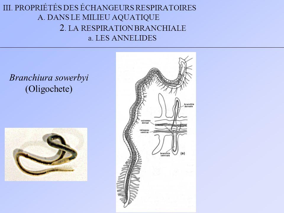 III. PROPRIÉTÉS DES ÉCHANGEURS RESPIRATOIRES A. DANS LE MILIEU AQUATIQUE 2. LA RESPIRATION BRANCHIALE a. LES ANNELIDES Branchiura sowerbyi (Oligochete
