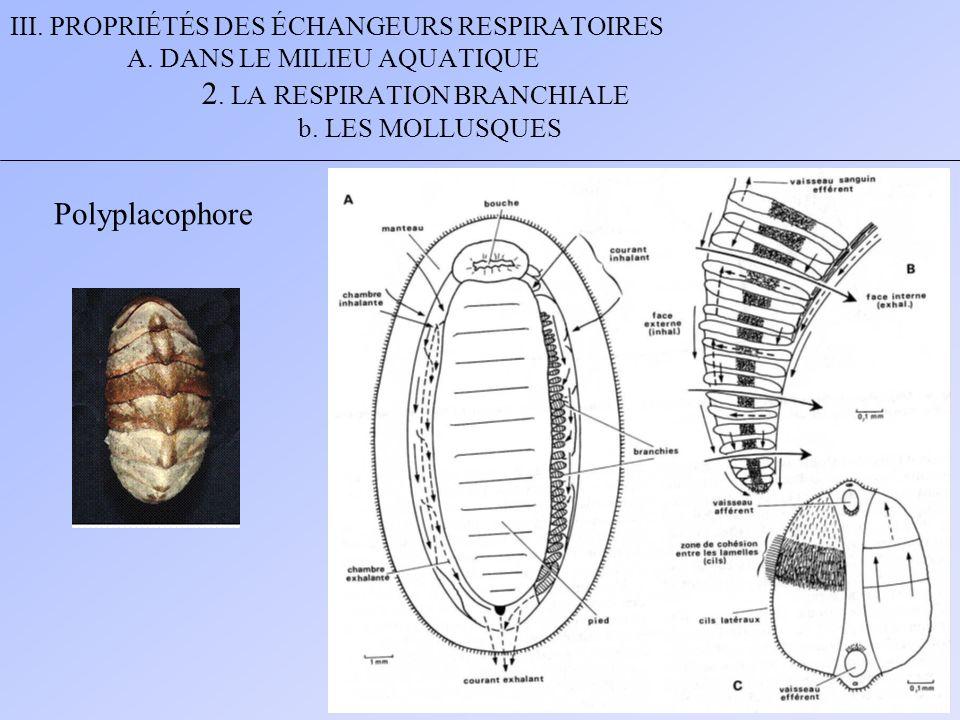 Polyplacophore