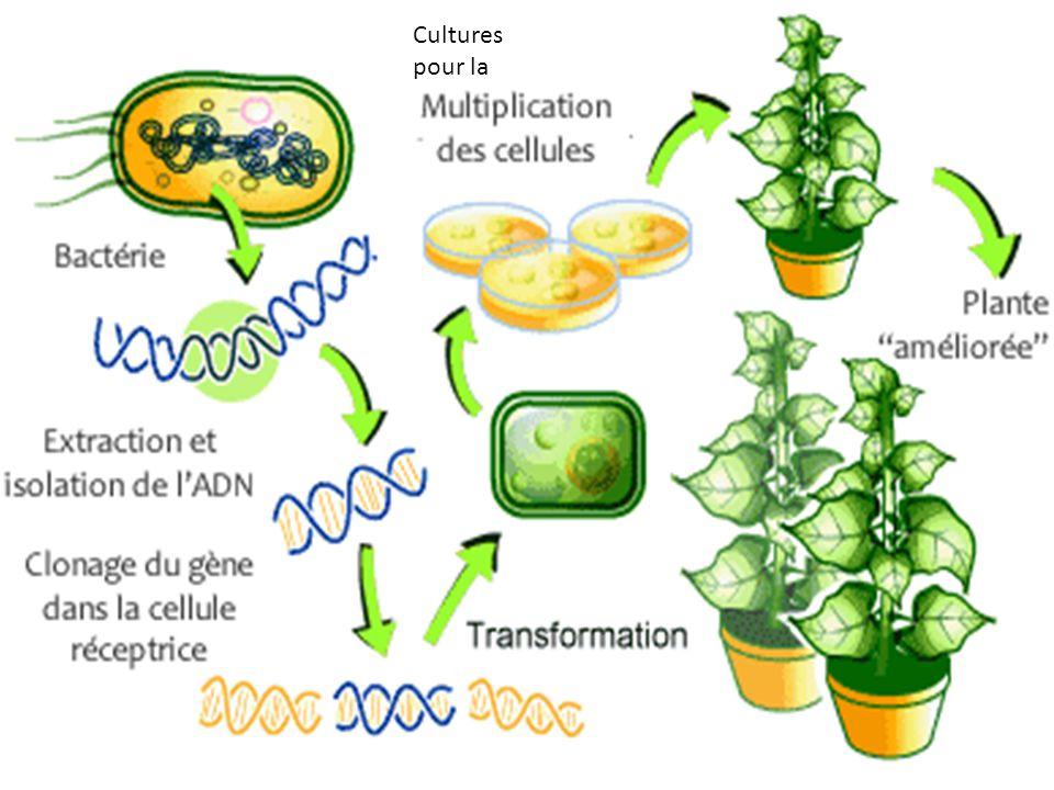La France ne cultive pas pour les moments les O.G.M mais dici le printemps 2012 Monsanto va réussir à introduire les O.G.M en France.