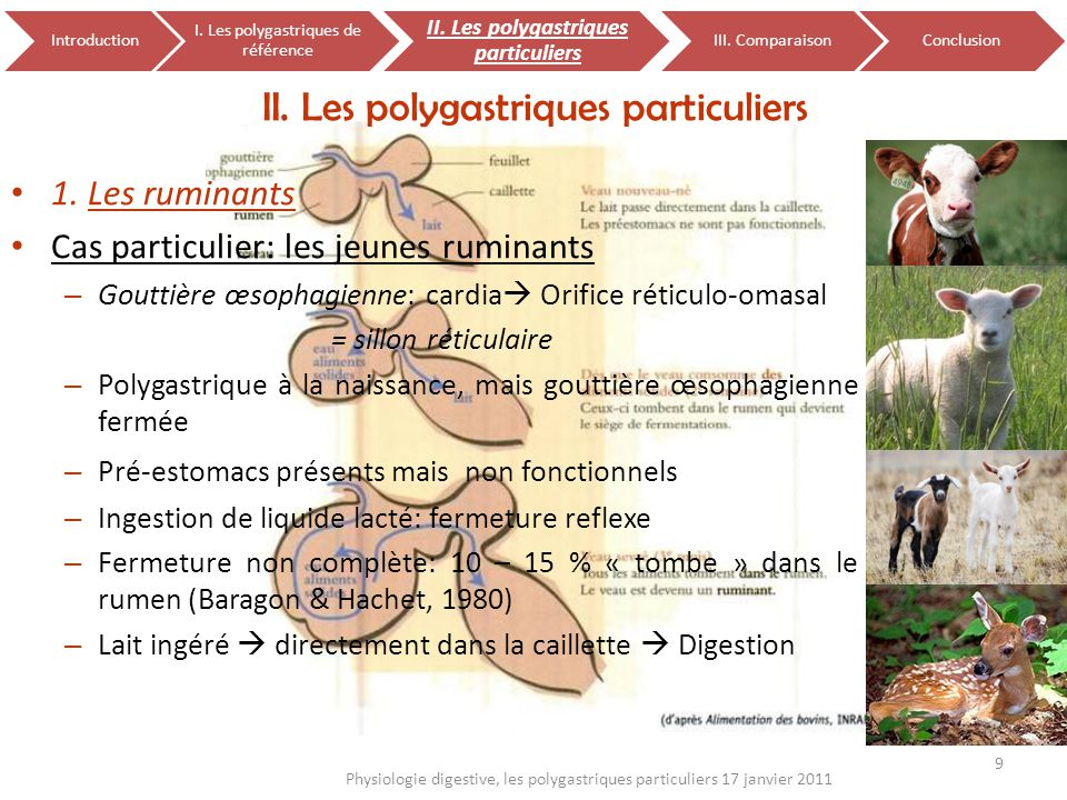 II. Les polygastriques particuliers 1. Les ruminants Cas particulier: les jeunes ruminants – Gouttière œsophagienne: cardia Orifice réticulo-omasal =