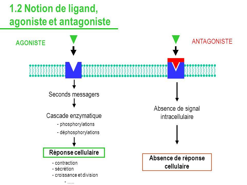 Cascade enzymatique - phosphorylations - déphosphorylations Réponse cellulaire - contraction - sécrétion - croissance et division - ….. AGONISTE Absen