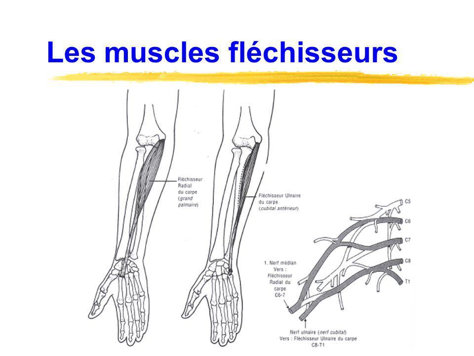 Les muscles fléchisseurs