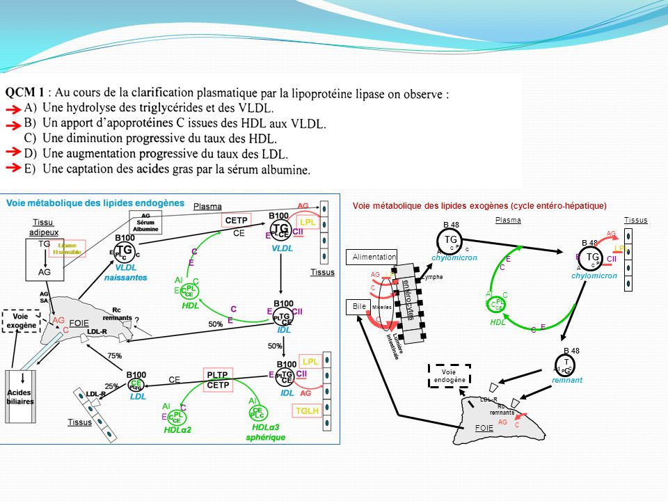 Voie métabolique des lipides exogènes (cycle entéro-hépatique) FOIE chylomicron TG CII B 48 E LPL AG A TissusPlasma HDL remnant TGTG B 48 A1 LDL-R Rc remnants entérocytes Lumière intestinale AG C chylomicron TG B 48 A C C C AG C C E C AI CE C C E PL Alimentation Bile C Micelles Voie endogène C E Lymphe LP E