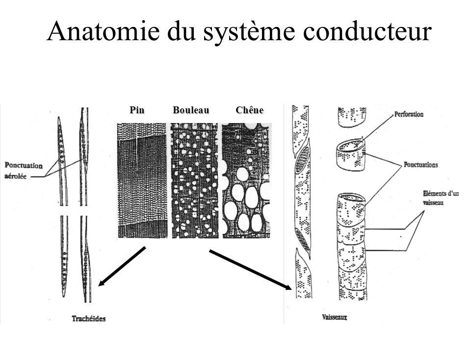 PinBouleauChêne Anatomie du système conducteur
