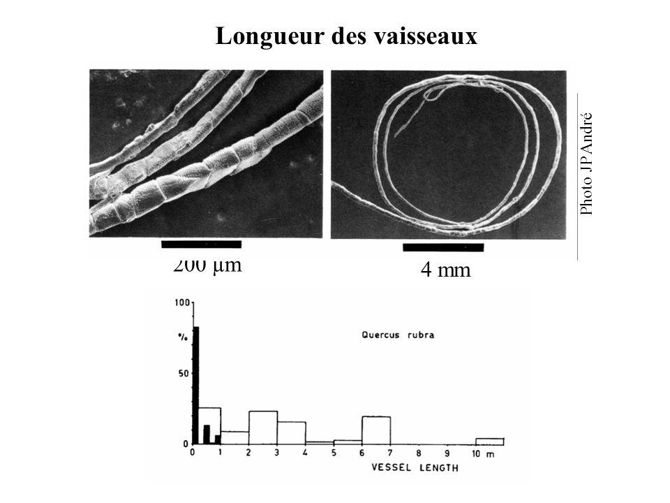 Longueur des vaisseaux 4 mm 200 µm Photo JP André
