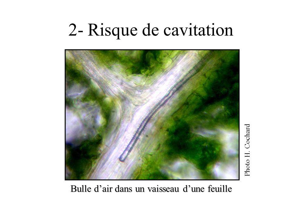 2- Risque de cavitation Bulle dair dans un vaisseau dune feuille Photo H. Cochard