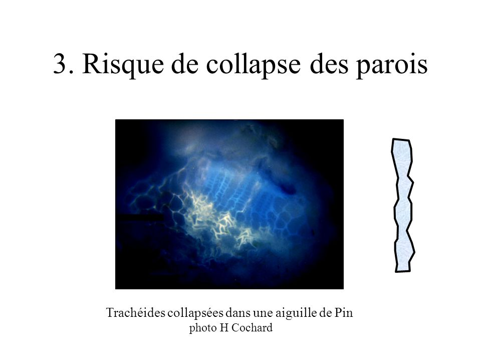 3. Risque de collapse des parois Trachéides collapsées dans une aiguille de Pin photo H Cochard