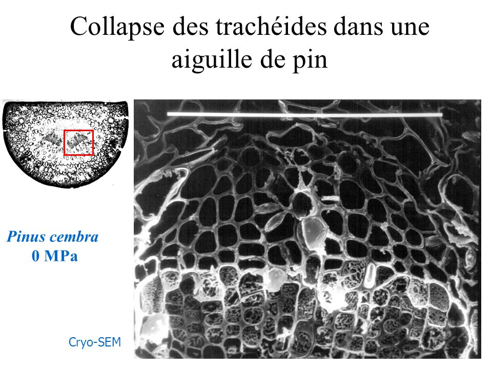 Collapse des trachéides dans une aiguille de pin Pinus cembra 0 MPa Cryo-SEM