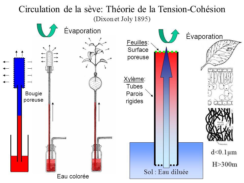 Circulation de la sève: Théorie de la Tension-Cohésion (Dixon et Joly 1895) Évaporation Sol : Eau diluée Xylème: Tubes Parois rigides Feuilles: Surface poreuse Eau colorée Évaporation Bougie poreuse d<0.1µm H>300m H>300m