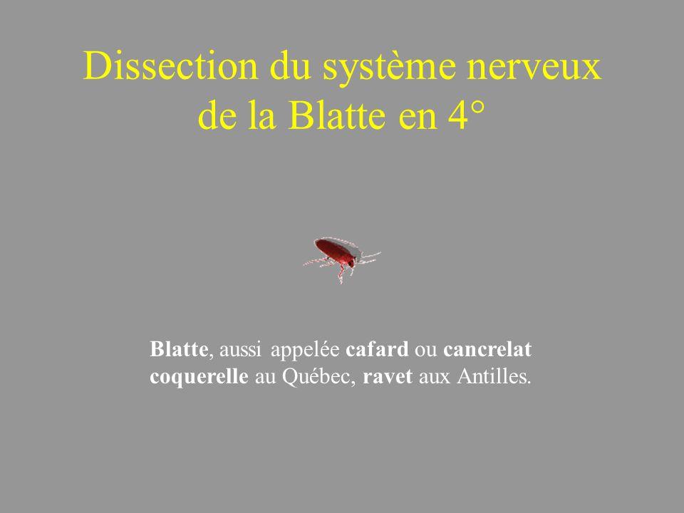 Dissection du système nerveux de la Blatte en 4° Blatte, aussi appelée cafard ou cancrelat coquerelle au Québec, ravet aux Antilles.