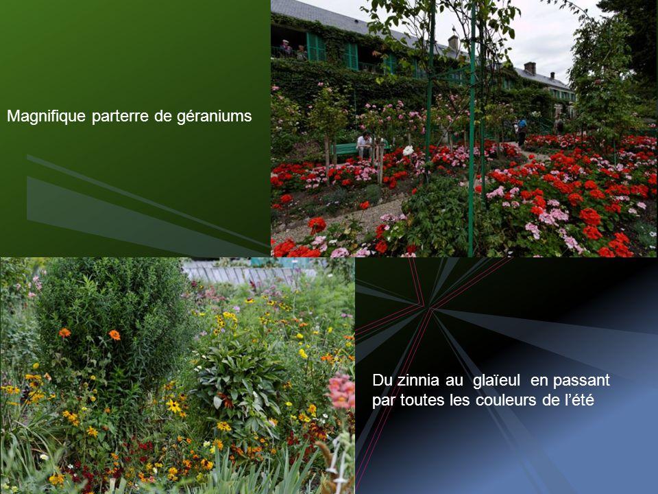 Magnifique parterre de géraniums Du zinnia au glaïeul en passant par toutes les couleurs de lété