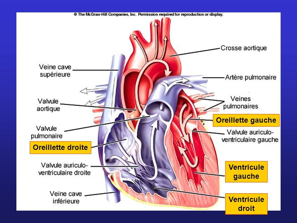 Les enveloppes du coeur EndocardePéricarde viscéral Péricarde pariétal Cavité péricardique