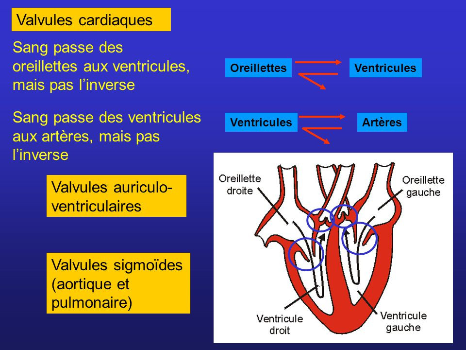 Systole auriculaire Valvules A.V.ouvertes Valvules aortique et pulm.