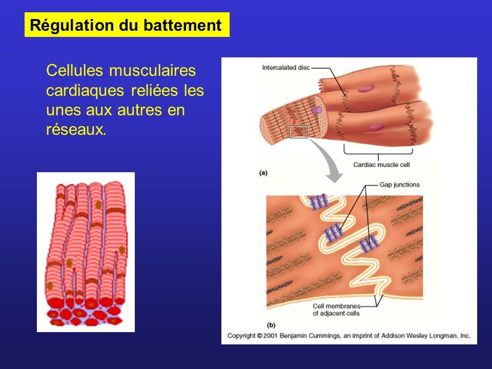 Régulation du battement Cellules musculaires cardiaques reliées les unes aux autres en réseaux.