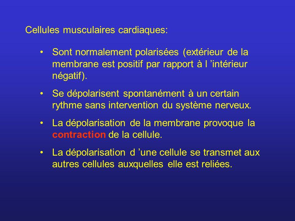 Cellules musculaires cardiaques: Sont normalement polarisées (extérieur de la membrane est positif par rapport à l intérieur négatif). Se dépolarisent