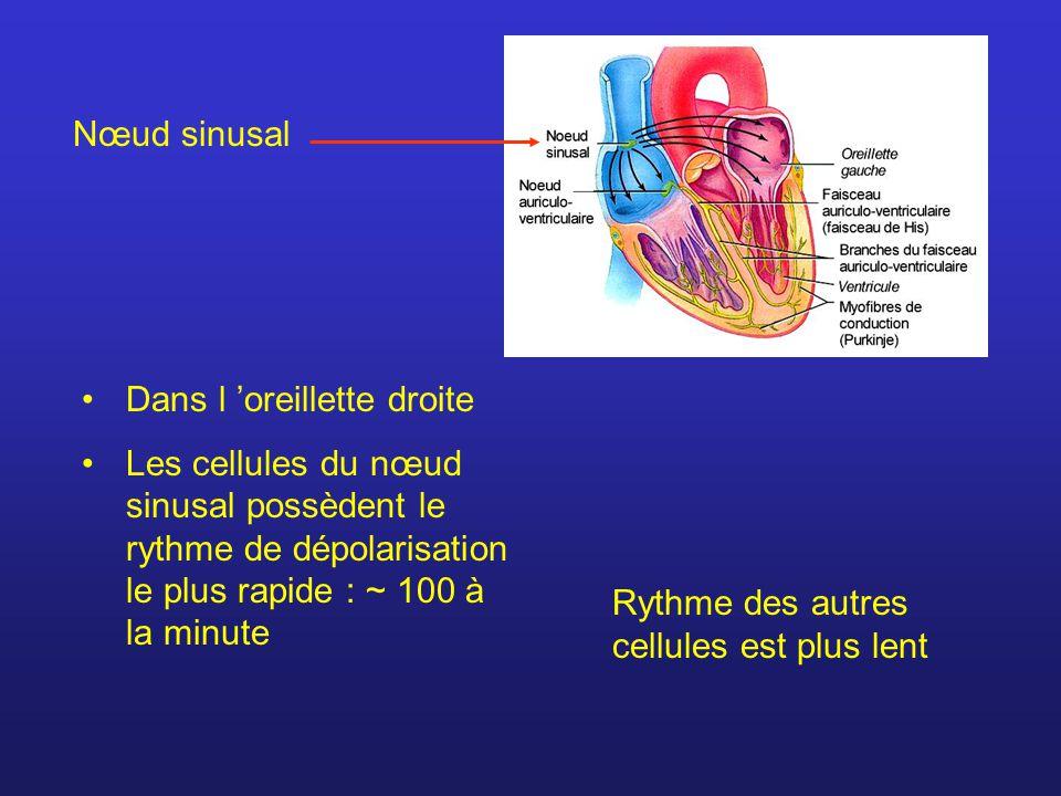 Nœud sinusal Dans l oreillette droite Les cellules du nœud sinusal possèdent le rythme de dépolarisation le plus rapide : ~ 100 à la minute Rythme des