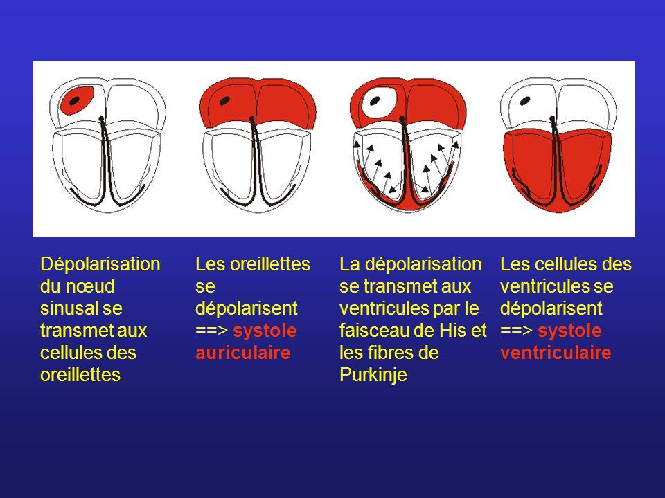 Dépolarisation du nœud sinusal se transmet aux cellules des oreillettes Les oreillettes se dépolarisent ==> systole auriculaire La dépolarisation se t