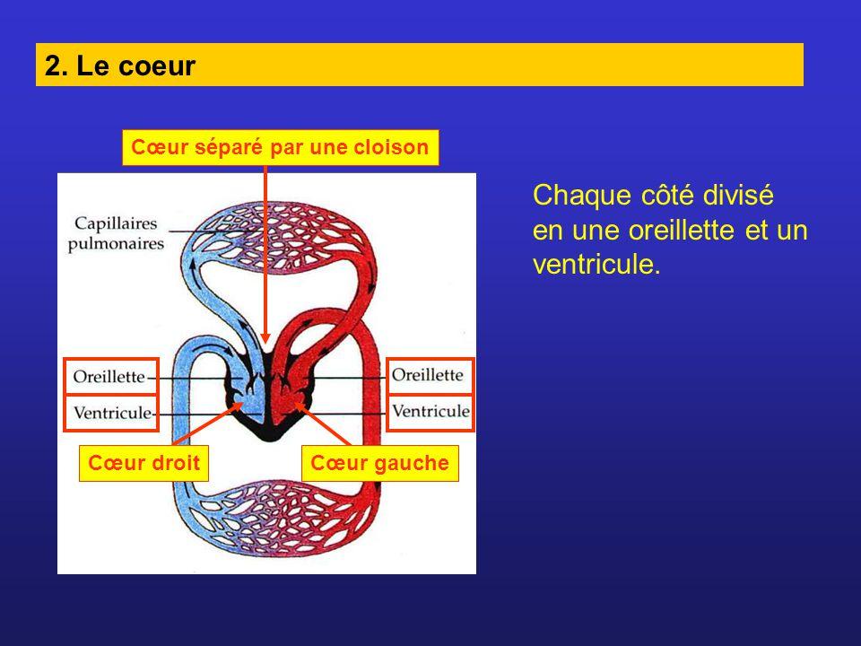 2. Le coeur Cœur séparé par une cloison Cœur droitCœur gauche Chaque côté divisé en une oreillette et un ventricule.