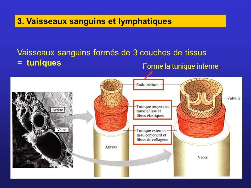 Artères : Parois épaisses, musclées et élastiques Contraction des muscles entourant l artère = vasoconstriction Relâchement des muscles entourant l artère = vasodilatation
