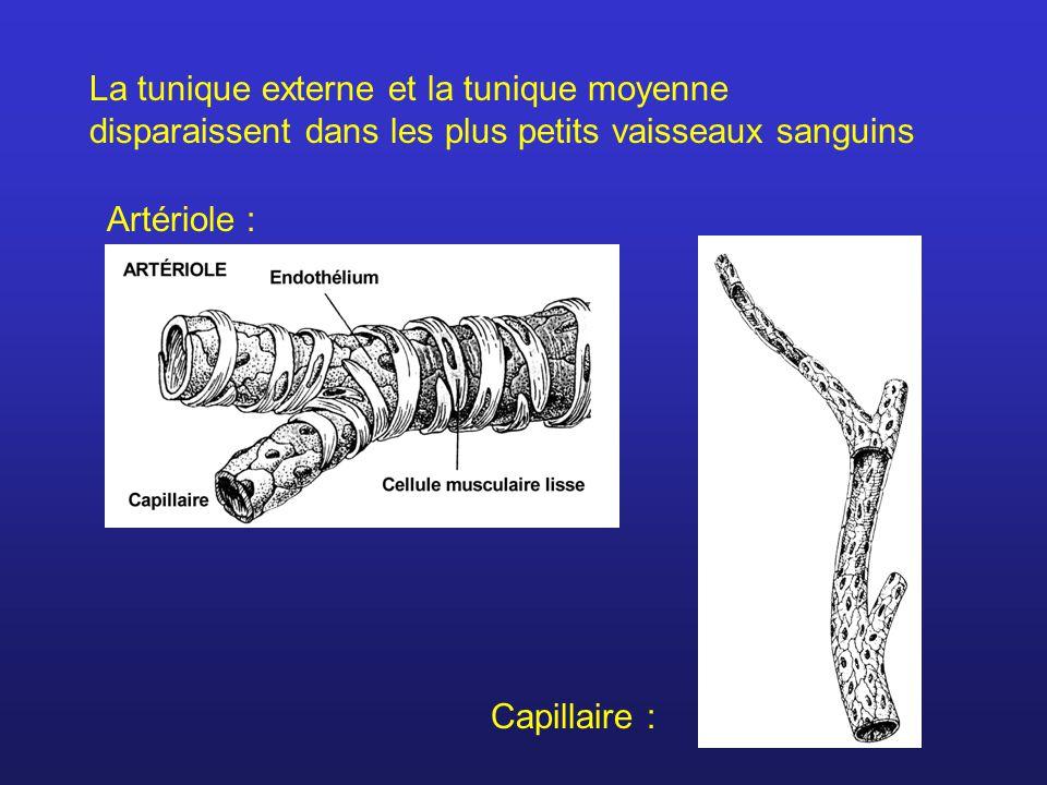 Capillaires Cellules de l endothélium Globule rouge dans le capillaire