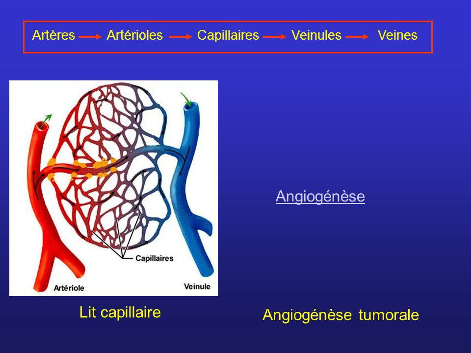 ArtèresArtériolesVeinulesVeinesCapillaires Lit capillaire Angiogénèse tumorale Angiogénèse